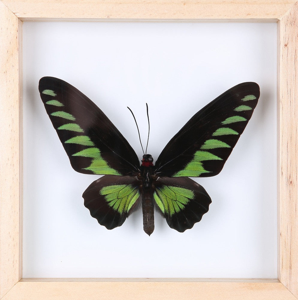 EXOTIC THAI FRAMED BUTTERFLY | SEE-THROUGH BUTTERFLY FRAME, HOME DECOR