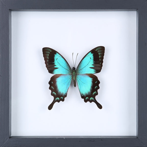 THE TURQUOISE SWALLOWTAIL BUTTERFLY (PAPILIO PERICLES) SEE-THROUGH BUTTERFLY FRAME