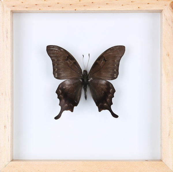 EXOTIC THAI FRAMED BUTTERFLY | SEE-THROUGH BUTTERFLY FRAME, HOME DECOR 13-1812
