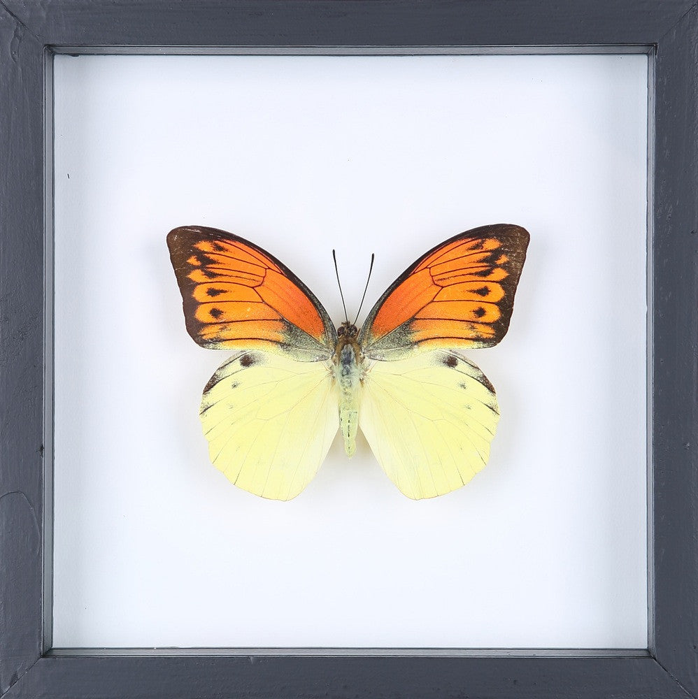THE GREATER ORANGE-TIP BUTTERFLY (HEBOMOIA LEUCIPPE) FRAMED ...