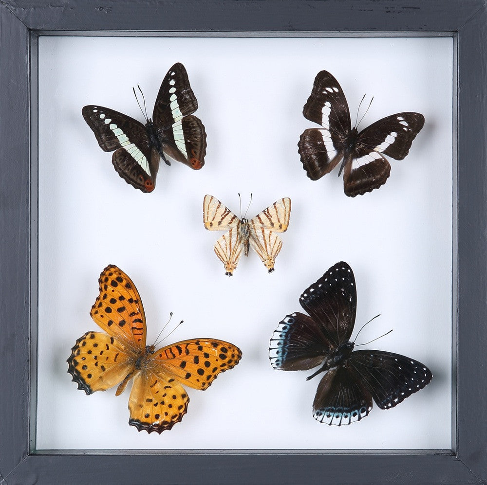 BUTTERFLY COLLECTION | FRAMED REAL BUTTERFLIES UK-13-1822