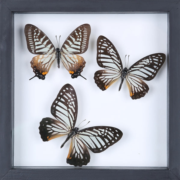 BUTTERFLY COLLECTION | FRAMED REAL BUTTERFLIES UK-13-1823