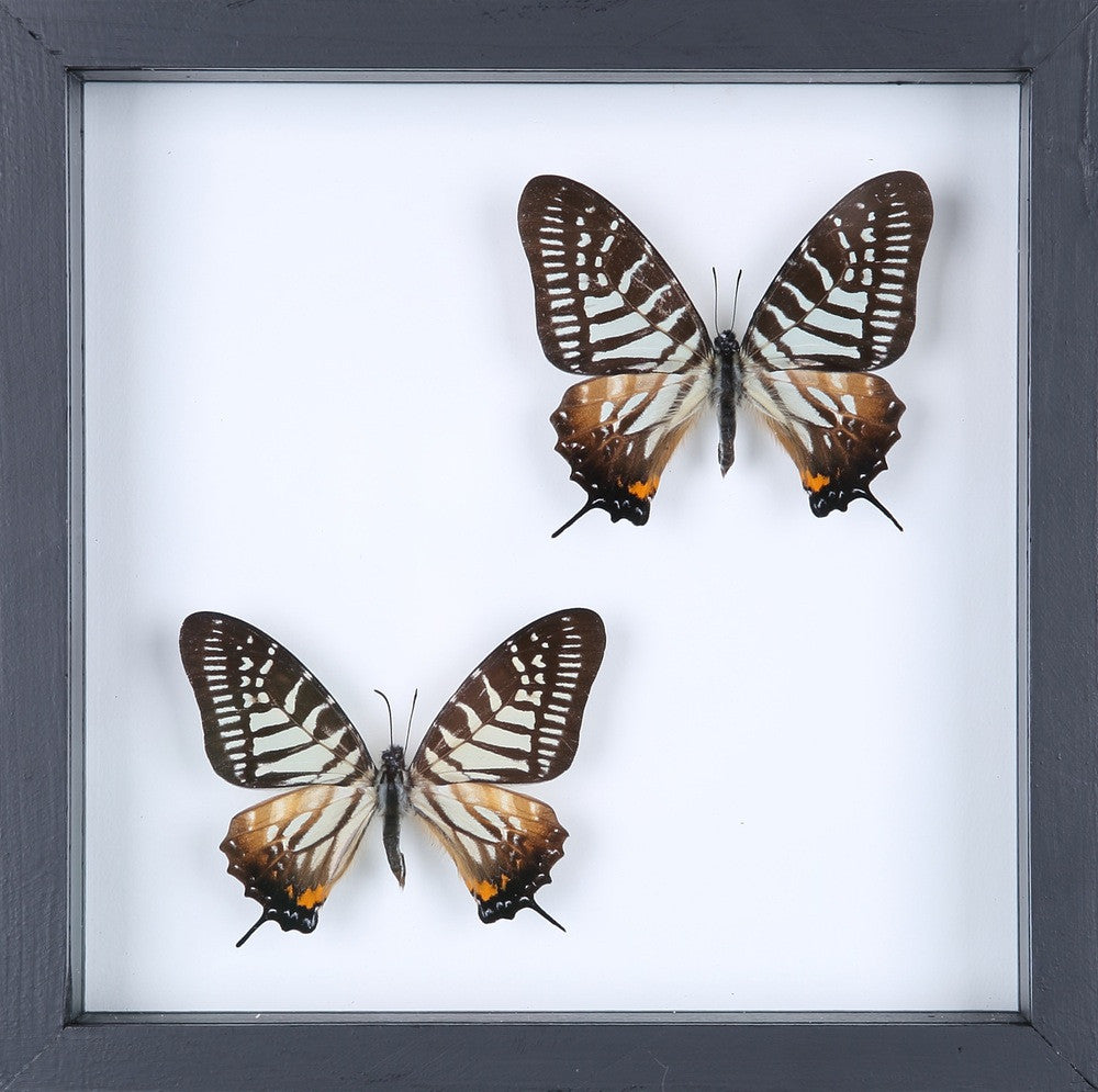 BUTTERFLY COLLECTION | FRAMED REAL BUTTERFLIES UK-13-1824