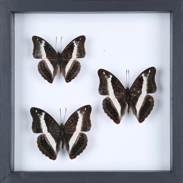 BUTTERFLY COLLECTION | FRAMED REAL BUTTERFLIES UK-13-1826