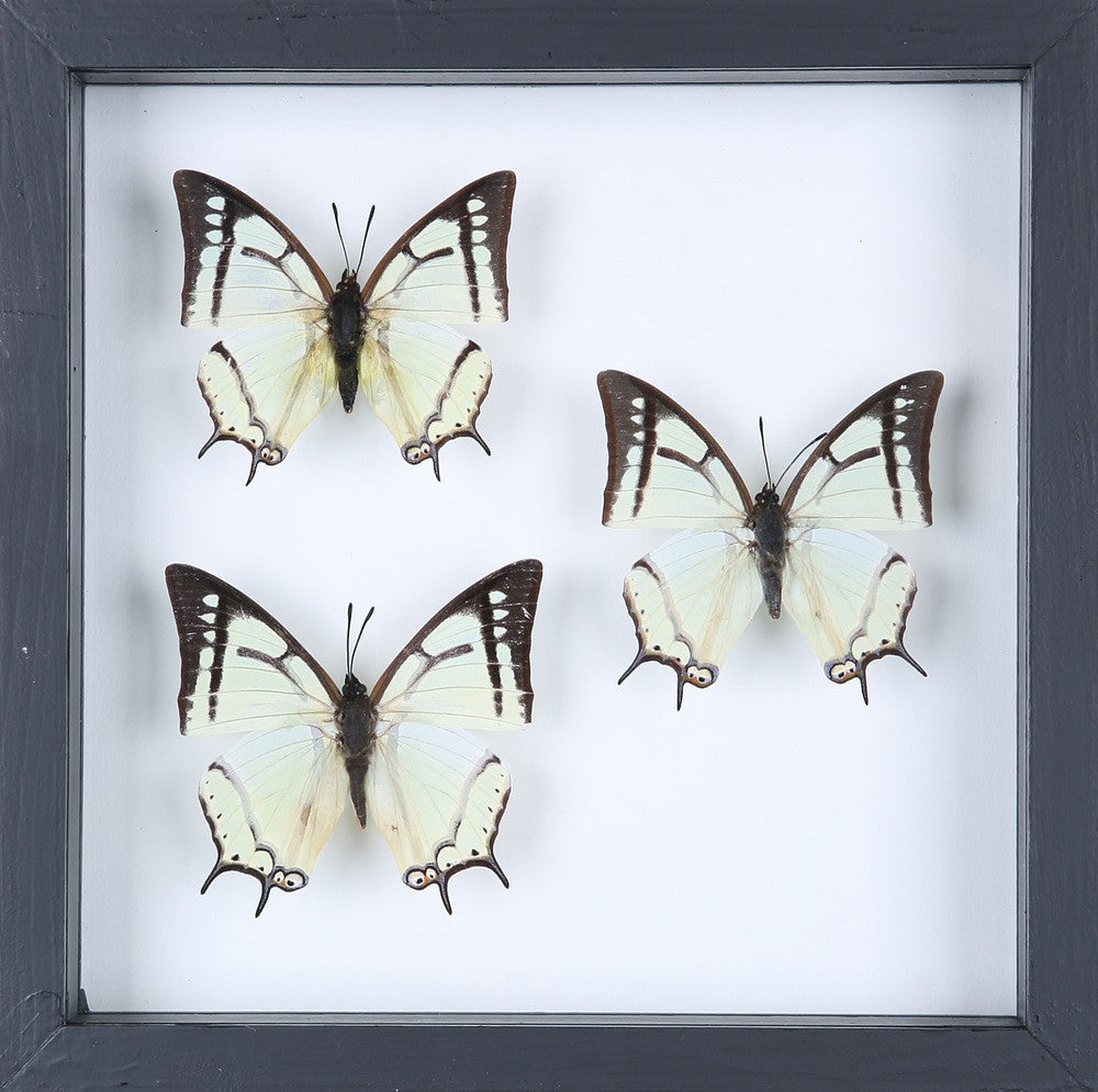 BUTTERFLY COLLECTION | FRAMED REAL BUTTERFLIES UK-13-1827