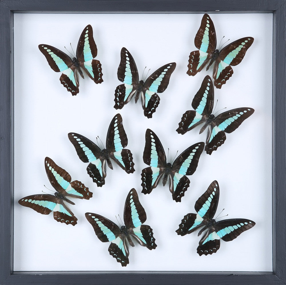 ENTOMOLOGY FRAMED BUTTERFLIES | BUTTERFLY COLLECTION 13-1833
