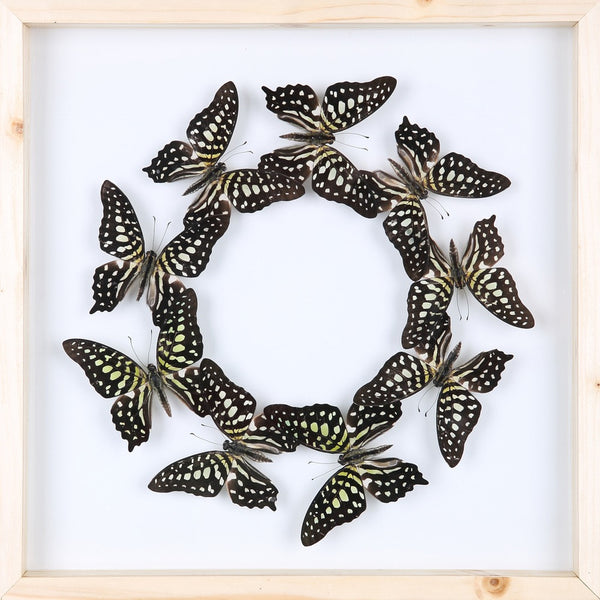 ENTOMOLOGY FRAMED BUTTERFLIES | BUTTERFLY COLLECTION 13-1834