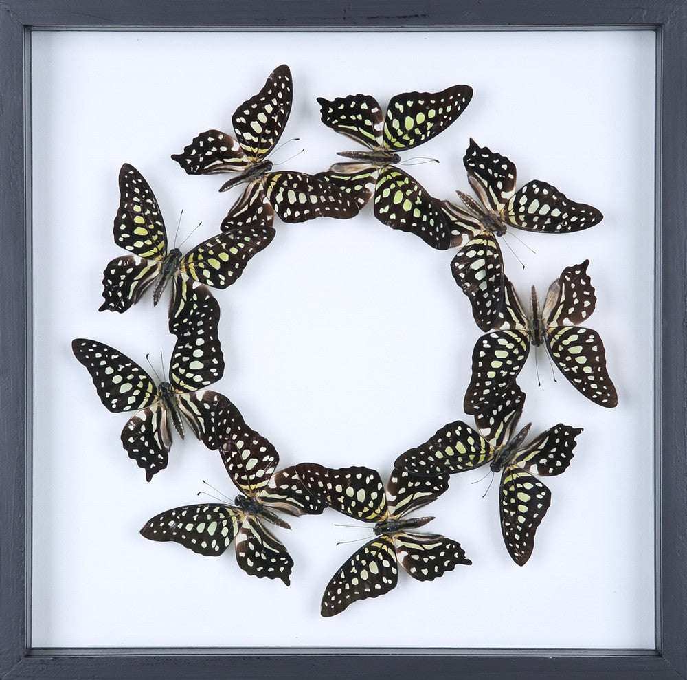 ENTOMOLOGY FRAMED BUTTERFLIES | BUTTERFLY COLLECTION 13-1835