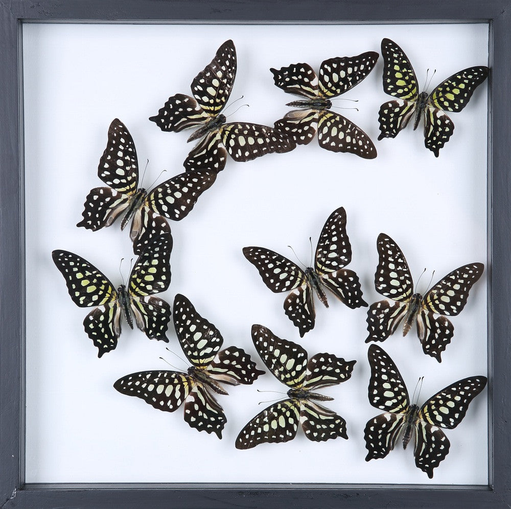 ENTOMOLOGY FRAMED BUTTERFLIES | BUTTERFLY COLLECTION 13-1837