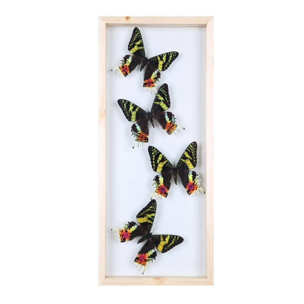 BUTTERFLY TAXIDERMY GLASS FRAME TALL DISPLAY | MOUNTED BUTTERFLIES NO.13-1842
