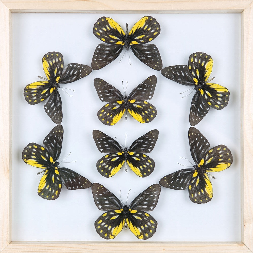 ENTOMOLOGY FRAMED BUTTERFLIES | BUTTERFLY COLLECTION 13-1867