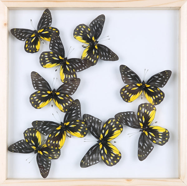 ENTOMOLOGY FRAMED BUTTERFLIES | BUTTERFLY COLLECTION 13-1878