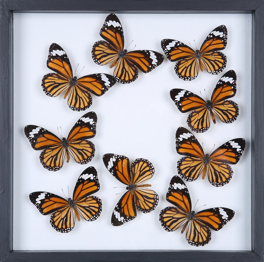 ENTOMOLOGY FRAMED BUTTERFLIES | BUTTERFLY COLLECTION 13-1879