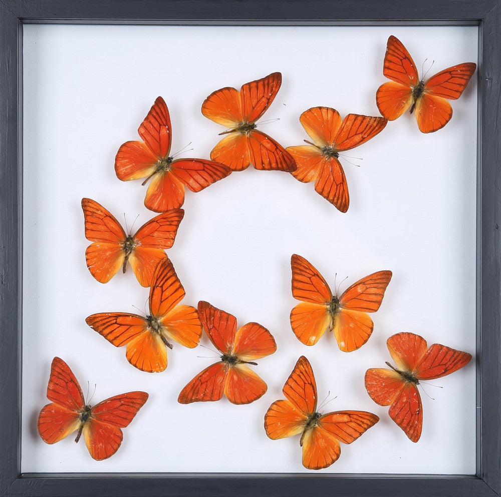ENTOMOLOGY FRAMED BUTTERFLIES | BUTTERFLY COLLECTION 13-1880