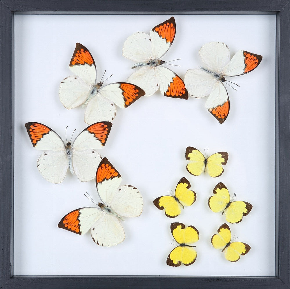 ENTOMOLOGY FRAMED BUTTERFLIES | BUTTERFLY COLLECTION 13-1883