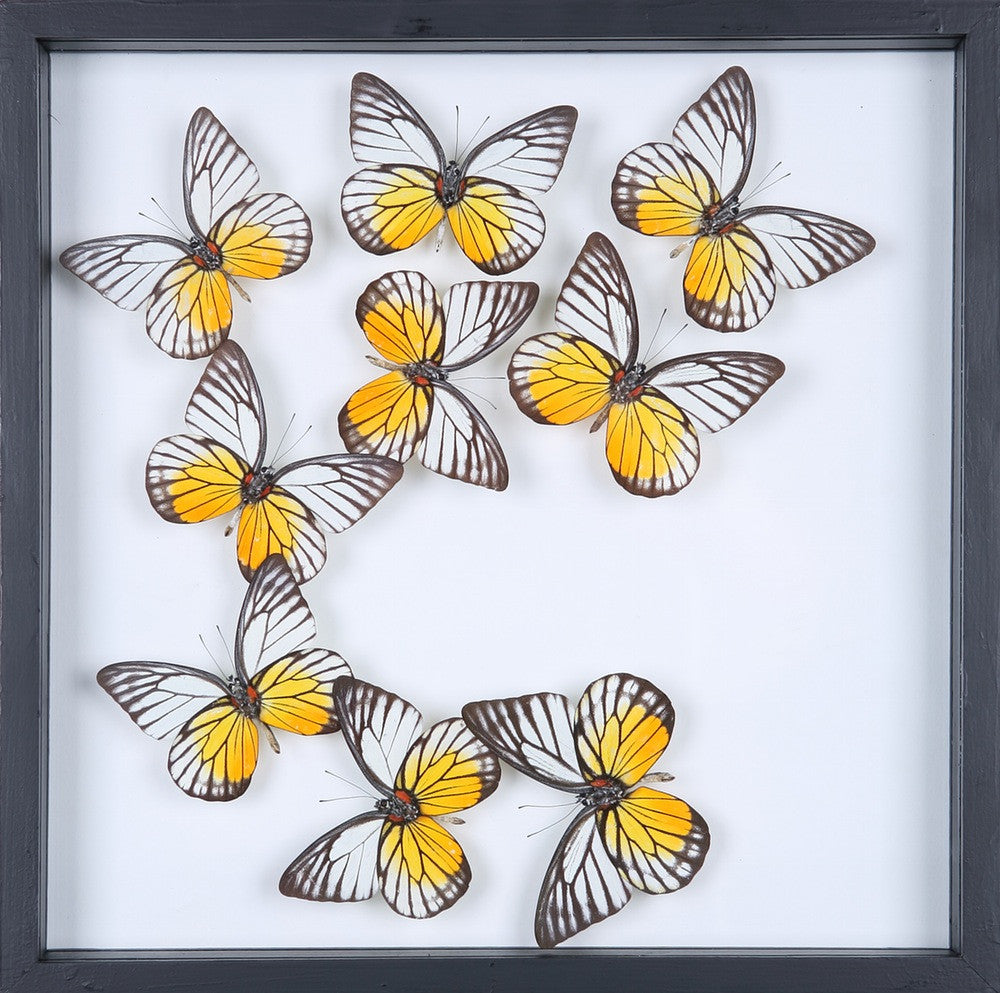 entomology framed butterflies butterfly collection 13 1884
