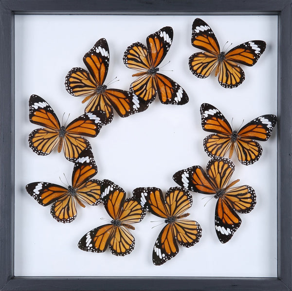 entomology framed butterflies butterfly collection 13 1885
