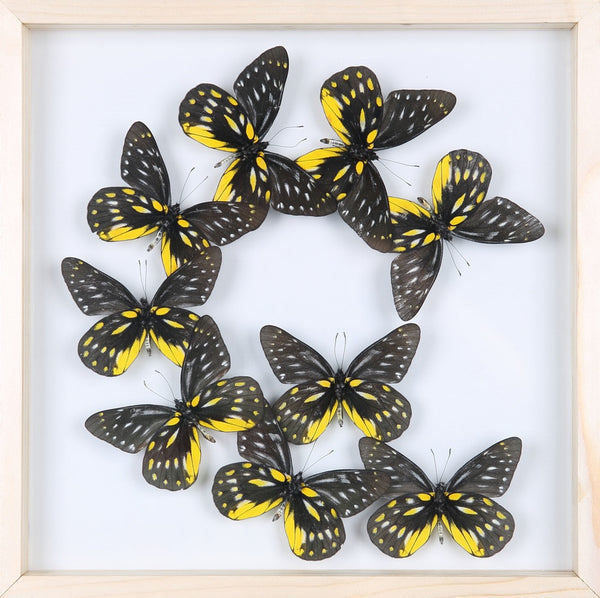 TAXIDERMY BUTTERFLY GLASS FRAME DISPLAY | MOUNTED BUTTERFLIES NO.13-1886