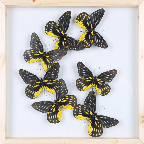 TAXIDERMY BUTTERFLY GLASS FRAME DISPLAY | MOUNTED BUTTERFLIES NO.13_1895