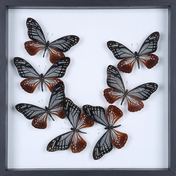 ENTOMOLOGY FRAMED BUTTERFLIES | BUTTERFLY COLLECTION 13-1897