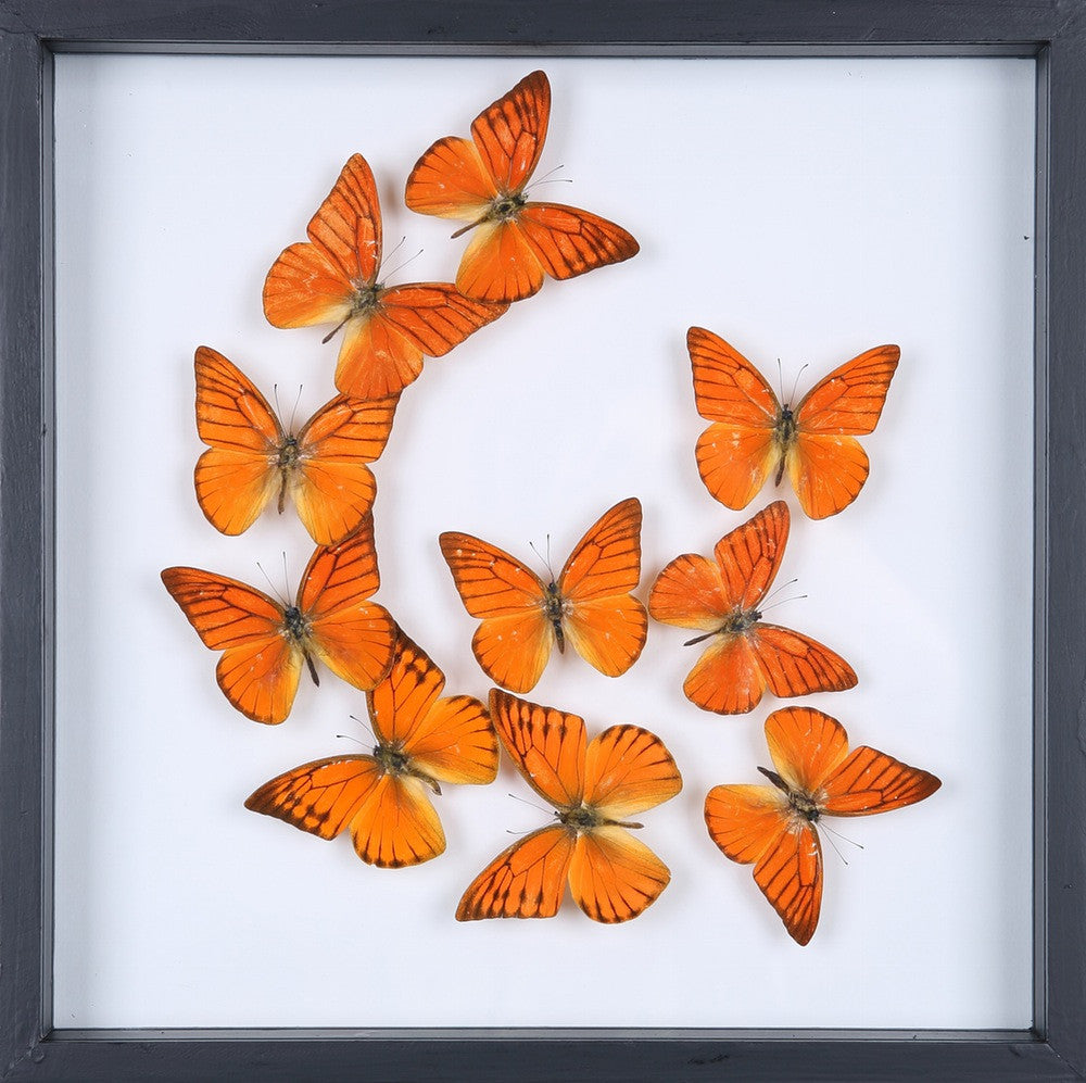 ENTOMOLOGY FRAMED BUTTERFLIES | BUTTERFLY COLLECTION 13-1902