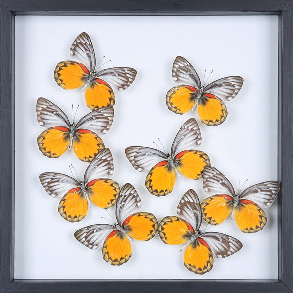 ENTOMOLOGY FRAMED BUTTERFLIES | BUTTERFLY COLLECTION 13-1903