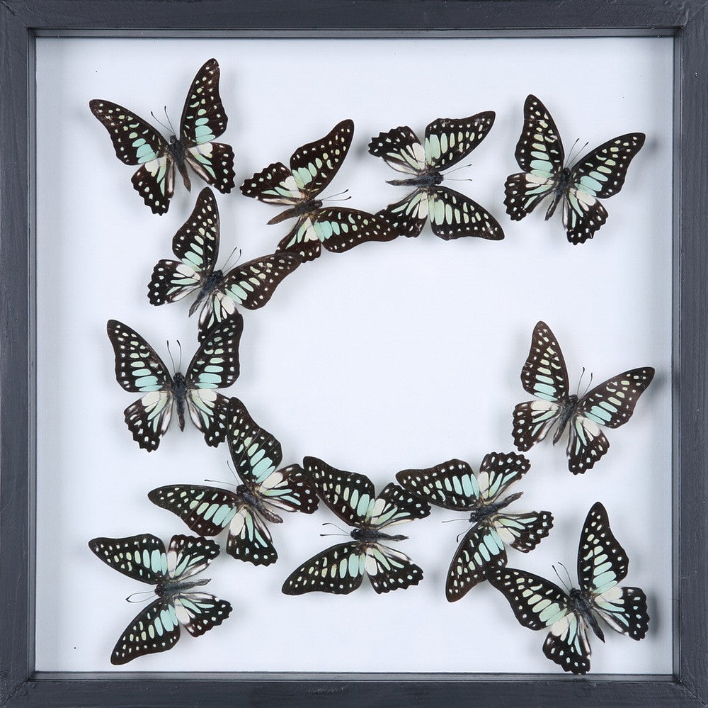 ENTOMOLOGY FRAMED BUTTERFLIES | BUTTERFLY COLLECTION 13-1905