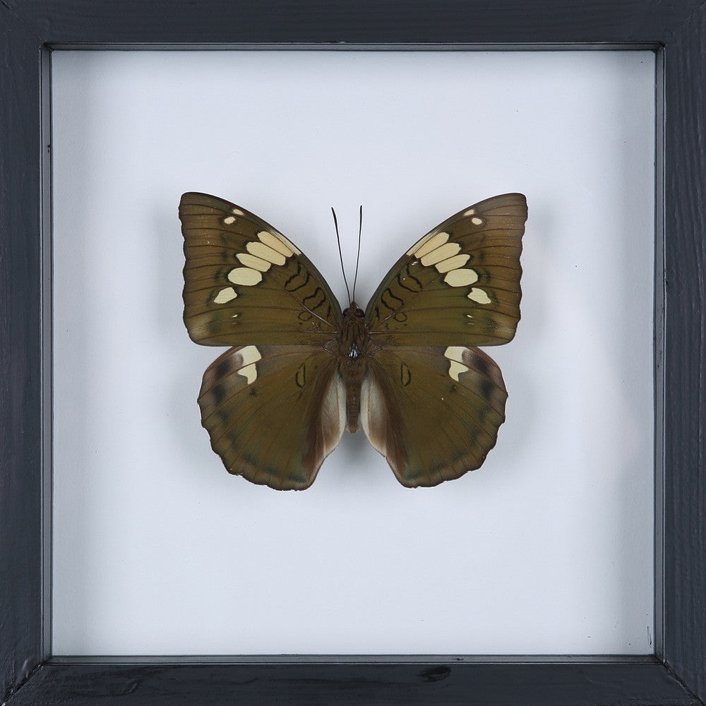 EXOTIC THAI FRAMED BUTTERFLY | SEE-THROUGH BUTTERFLY FRAME, HOME DECOR 13-1922