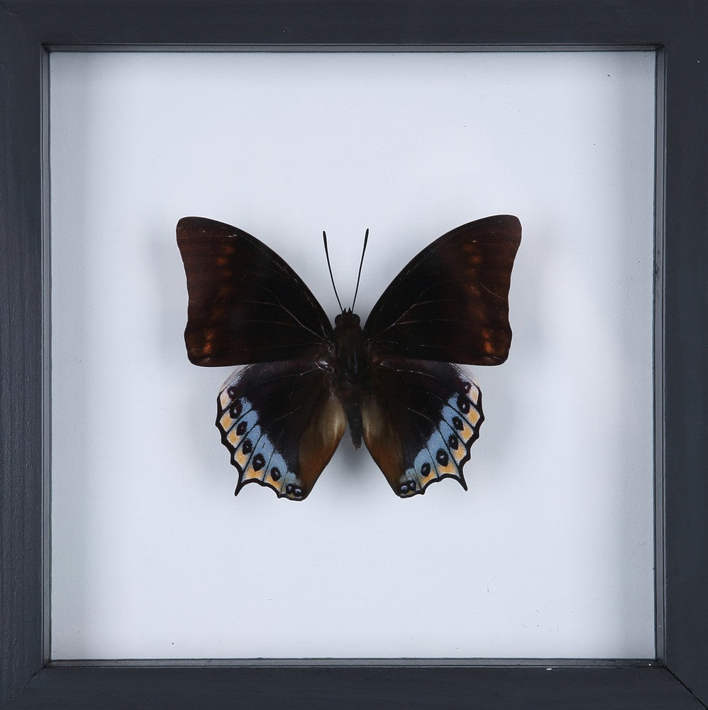 EXOTIC THAI FRAMED BUTTERFLY | SEE-THROUGH BUTTERFLY FRAME, HOME ...