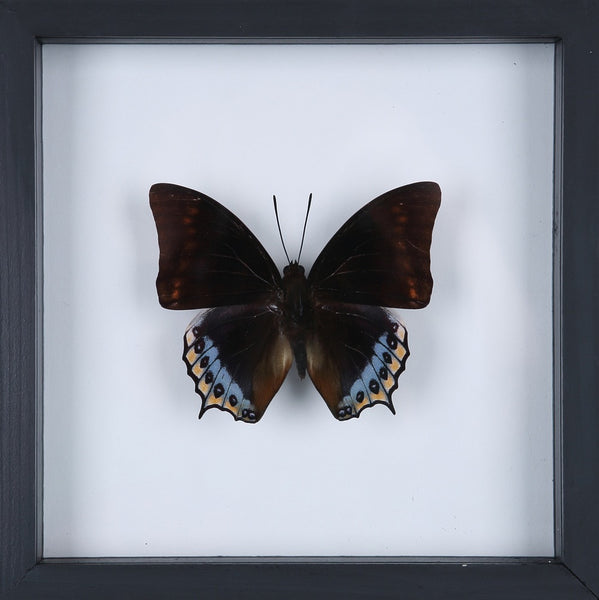 EXOTIC THAI FRAMED BUTTERFLY | SEE-THROUGH BUTTERFLY FRAME, HOME DECOR NO.13-1923