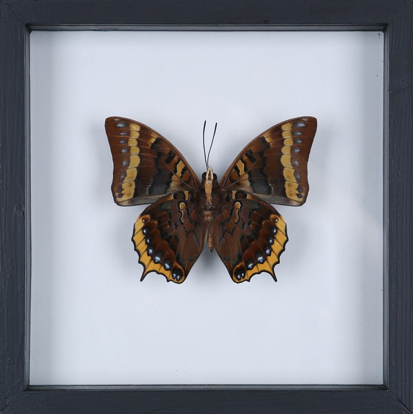 EXOTIC THAI FRAMED BUTTERFLY | SEE-THROUGH BUTTERFLY FRAME, HOME DECOR NO.13-ADW_1924