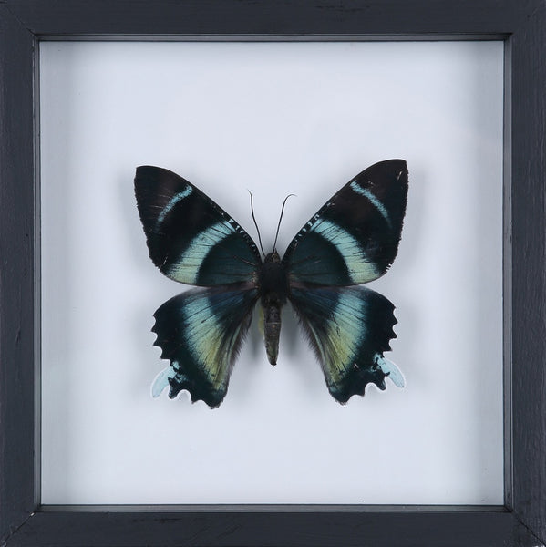 EXOTIC THAI FRAMED BUTTERFLY | SEE-THROUGH BUTTERFLY FRAME, HOME DECOR NO.13-1925