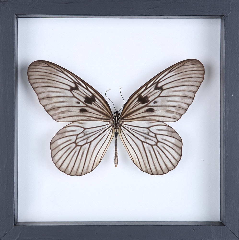 SIAM TREE-NYMPH BUTTERFLY TAXIDERMY | SEE THROUGH GLASS FRAME - Bugs ...
