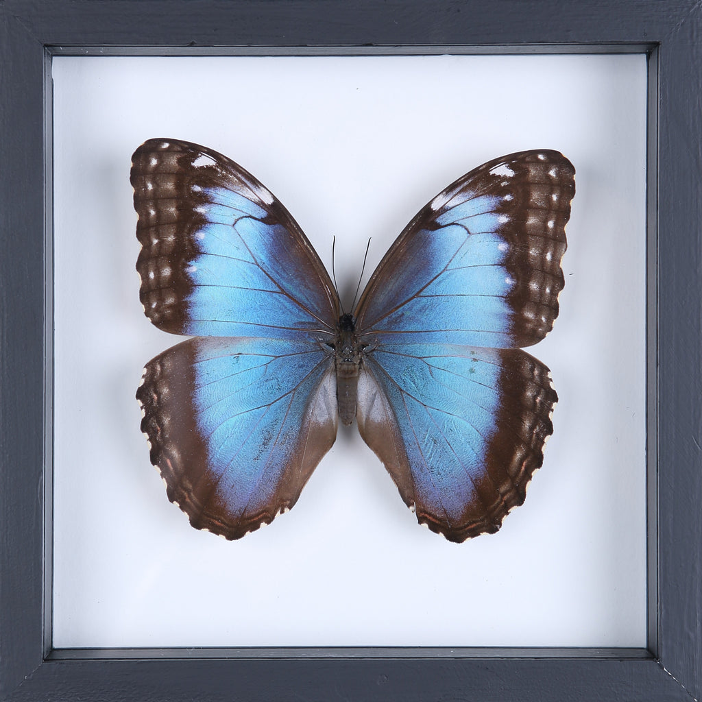 THE BLUE BANDED MORPHO (MORPHO ACHILLES) BUTTERFLY TAXIDERMY | SEE THROUGH GLASS FRAME