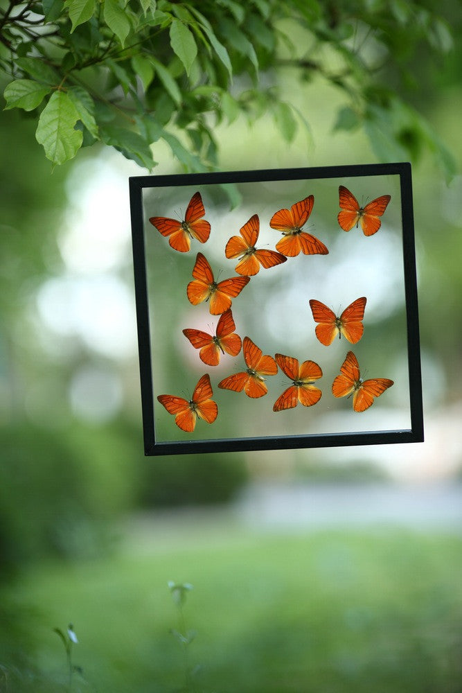 TAXIDERMY BUTTERFLY GLASS FRAME DISPLAY | MOUNTED BUTTERFLIES NO.13-1887