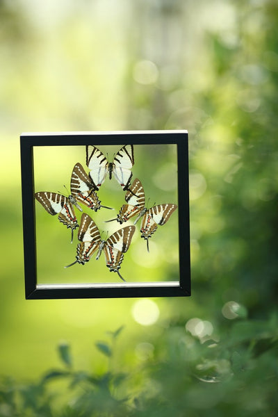 BUTTERFLY COLLECTION | FRAMED REAL BUTTERFLIES UK-13-1803