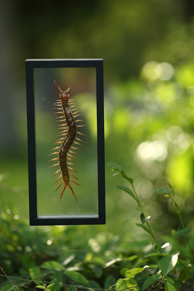 Giant Centipede Real Insect Framed Picture Entomology Glass Fronted Hardwood Box