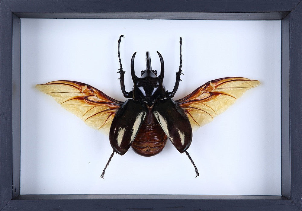 THE FLYING ATLAS BEETLE TAXIDERMY (CHALCOSOMA ATLAS) ENTOMOLOGY MINI BEAST FRAME F8-06
