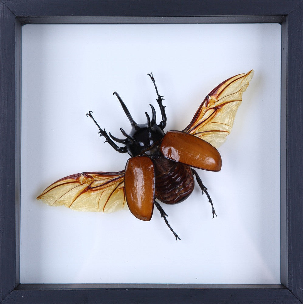 FLYING RHINO BEETLE | MOUNTED INSECT FRAME NO.F8-20