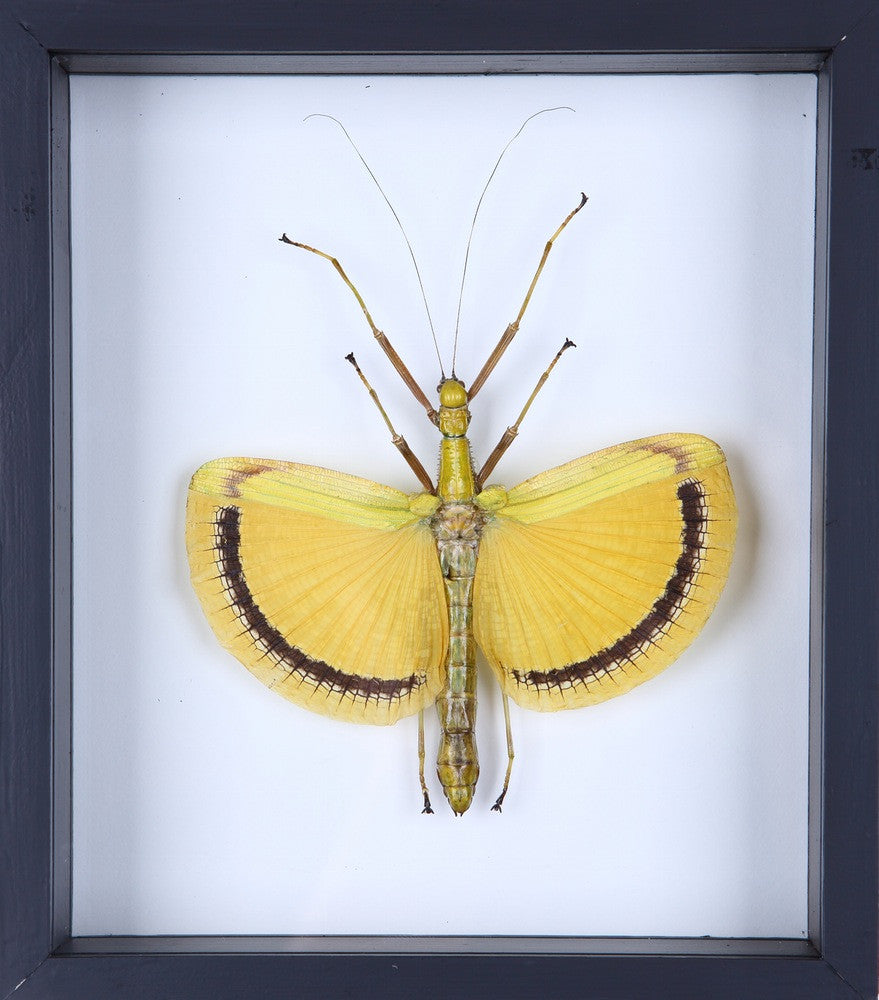 WINGED YELLOW WINGED STICK INSECT | SEE-THROUGH GLASS FRAME | ENTOMOLOGY SPECIMEN