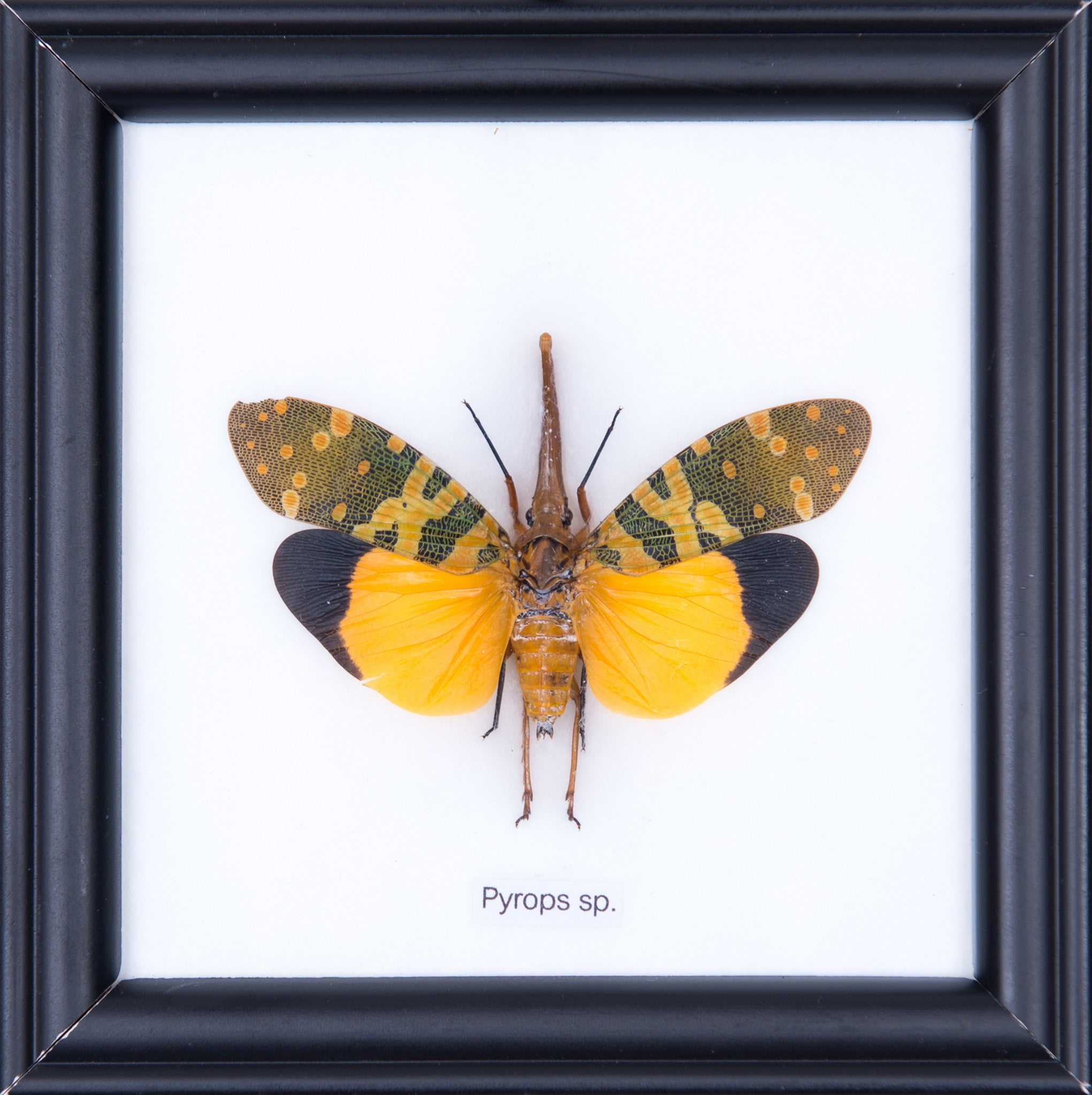 THE LANTERN BUG - COTTON MOUNTED INSECT TAXIDERMY 12X12CM FRAME ...