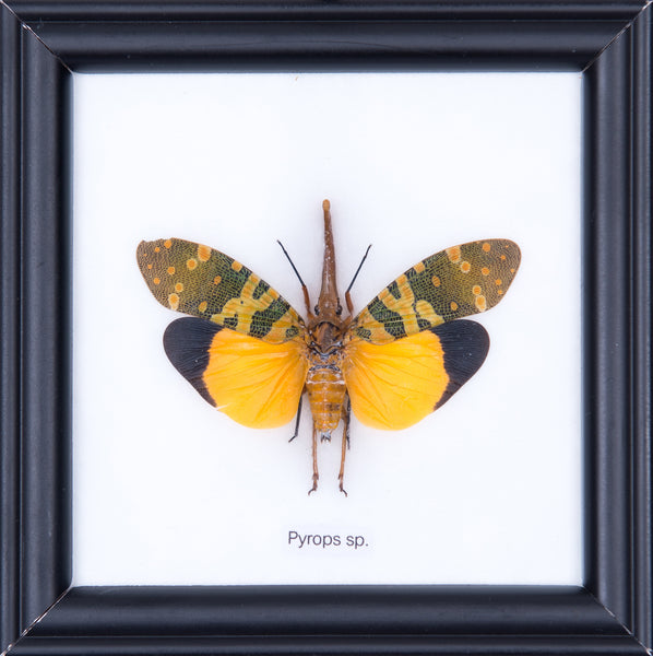THE LANTERN BUG - COTTON MOUNTED INSECT TAXIDERMY 12X12CM FRAME