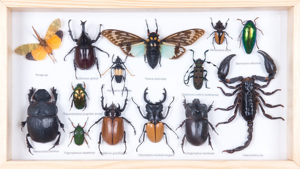 mounted tropical insects entomology collection framed taxidermy no174