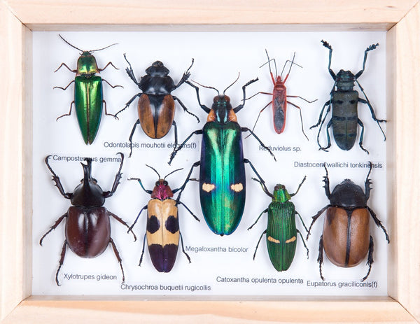 mounted tropical insects entomology collection framed taxidermy no179
