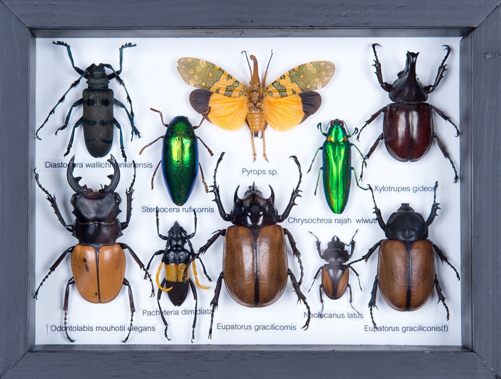 MOUNTED TROPICAL INSECTS | ENTOMOLOGY COLLECTION | FRAMED TAXIDERMY NO.17.11