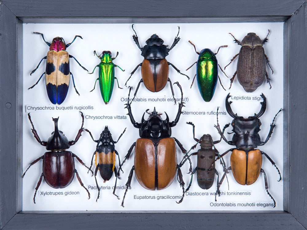 MOUNTED TROPICAL INSECTS | ENTOMOLOGY COLLECTION | FRAMED TAXIDERMY NO.17.12