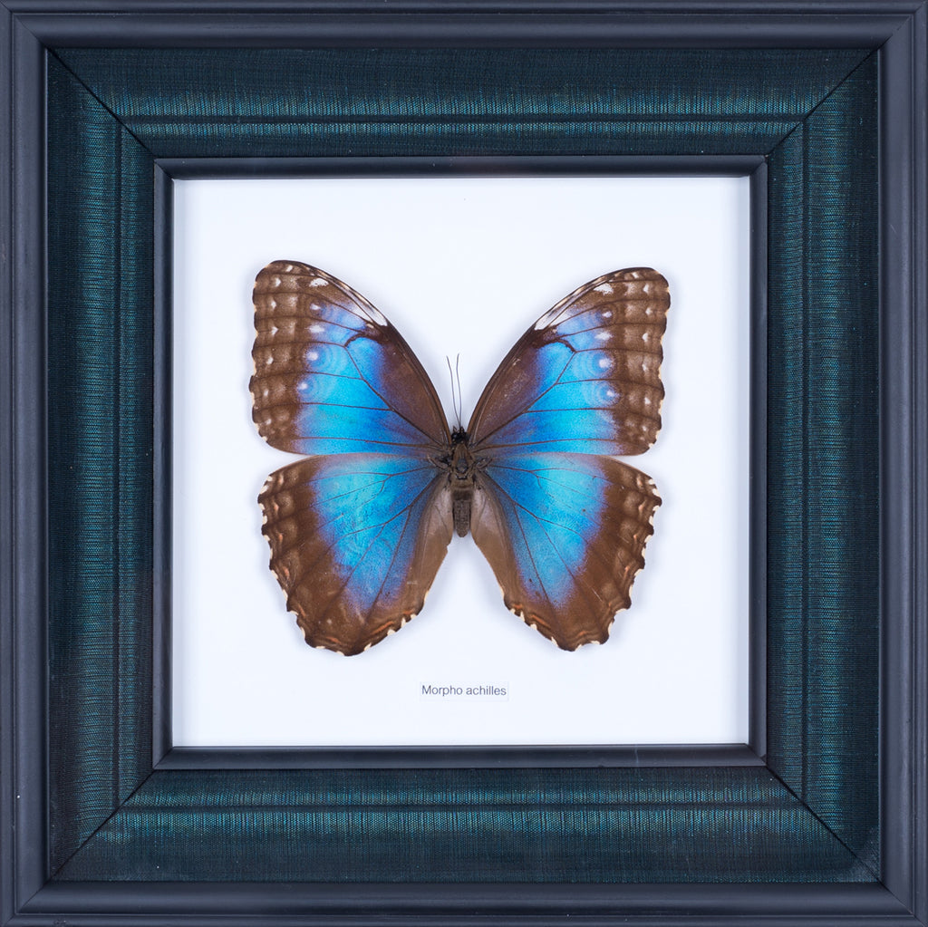 Exotic Framed Butterfly - Mulberry Silk Lining  | THE BLUE-BANDED MORPHO