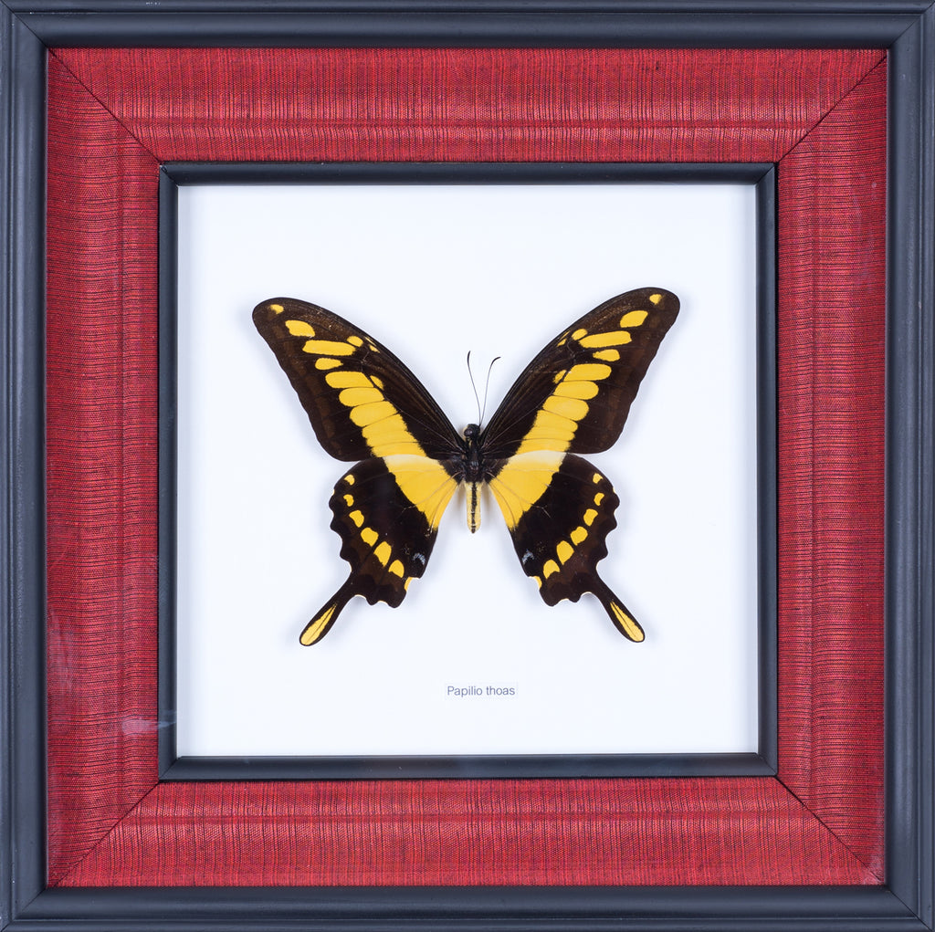 Exotic Framed Butterfly - Mulberry Silk Lining  #301