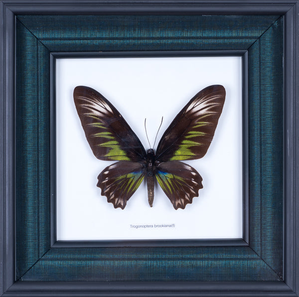 SILK LINED NATURAL BUTTERFLY COLLECTION #302