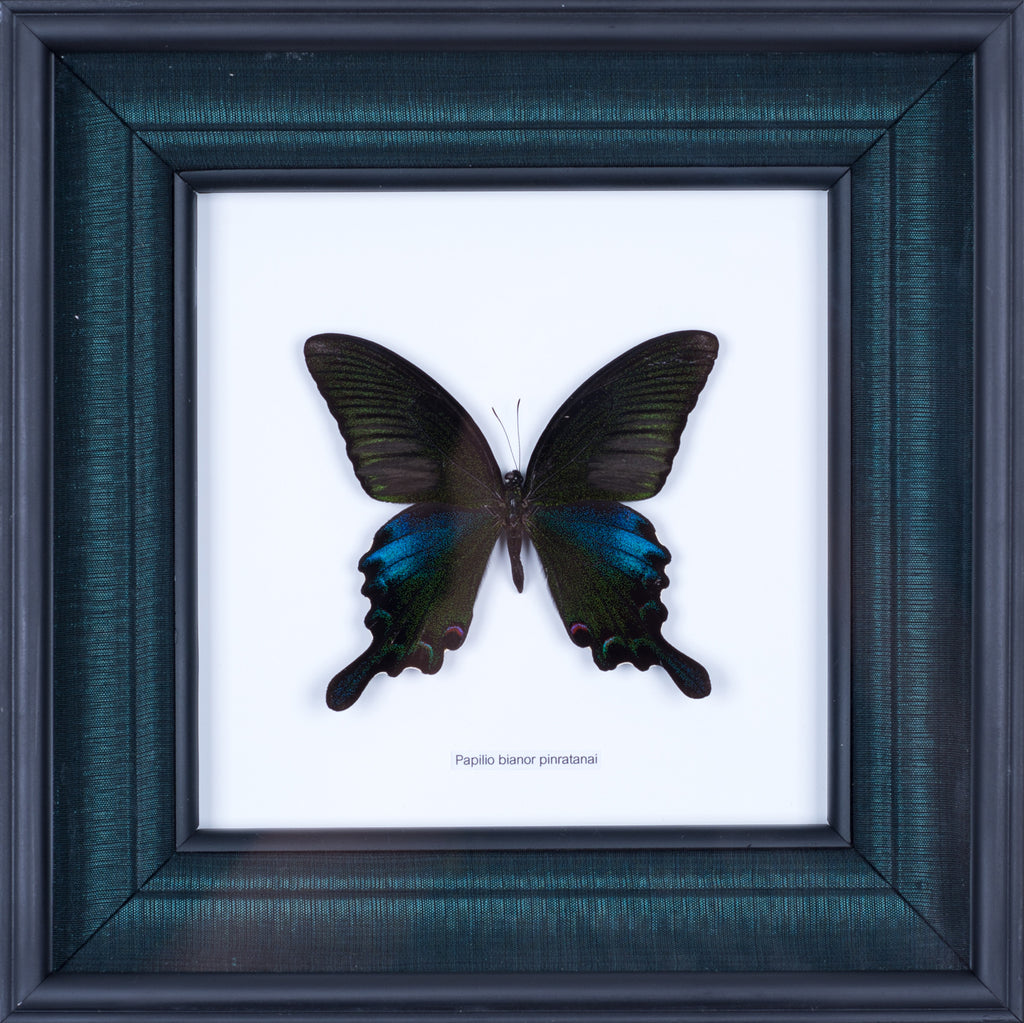 Exotic Framed Butterfly - Mulberry Silk Lining  | THE CHINESE PEACOCK